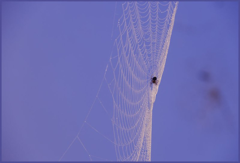 Orb Weaver and Web